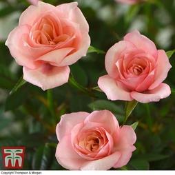 Scented Rose 'RosAroma™ Blush' - Gift