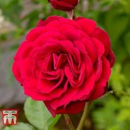 Rose 'Scented Double Red'