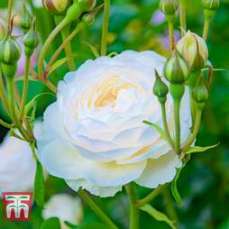 Rose 'Scented Double White'