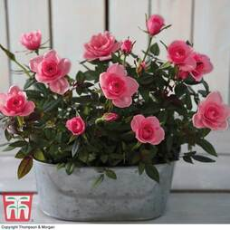 RosAroma™ Scented Roses 'Bright Pink Duo' - Gift