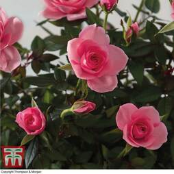 Scented Roses 'Bright Pink Duo' - Gift