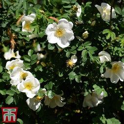 White Ramanas Rose (Hedging)