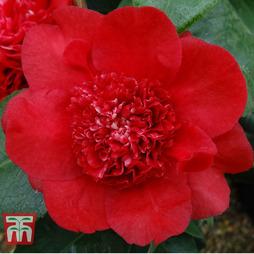 Camellia x williamsii 'Ruby Wedding'