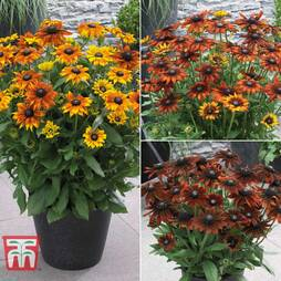 Rudbeckia 'Summerina Collection'