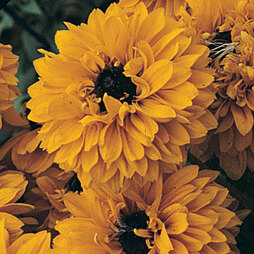 Rudbeckia 'Goldilocks'