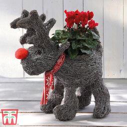 Festive Rudolph Brushwood Pot & Cyclamen - Gift