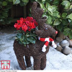 Festive Rudolph Brushwood Pot & Cyclamen