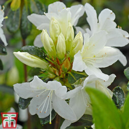 Rhododendron 'Snow White' (Azalea Group) Patio Standard