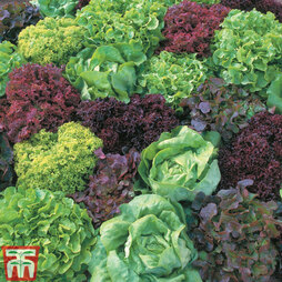 Salad Leaves 'Lettuce Mix'