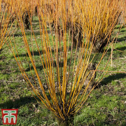 Scarlet Willow (Hedging)