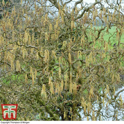 Twisted willow (Hedging)