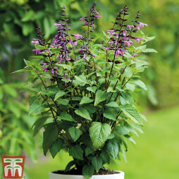 Salvia Salgoon 'Lake Tahoe'