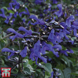 Salvia Bodacious™ 'Rhythm and Blues'