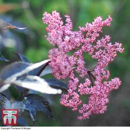 Sambucus nigra f. porphyrophylla 'Black Beauty'
