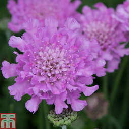 Scabious 'Flutterby Pink'
