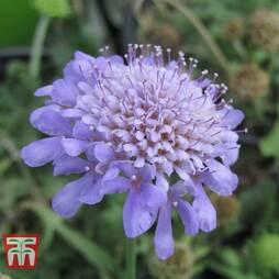 Scabiosa japonica 'Ritz Blue'