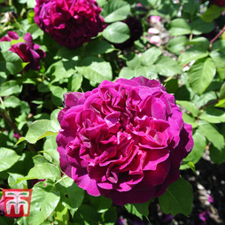 Rose 'Scented Double Purple'