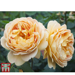 Rose 'Scented Doubles Gold'