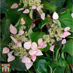 Schizophragma hydrangeoides 'Rose Sensation'