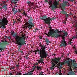 Sedum ewersii var. homophyllum 'Rosenteppich'