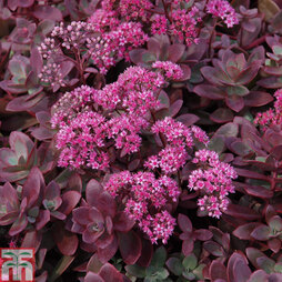 Sedum 'Sunsparkler Firecracker'