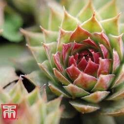 Sempervivum 'Jade Rose' (Houseplant)