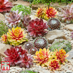Sempervivum 'Chick Charms®' Collection