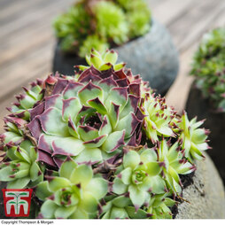 Sempervivum 'Mixed' (House Plant)