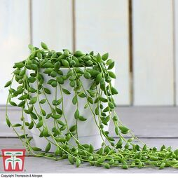 Senecio 'String of Teardrops' (House Plant)