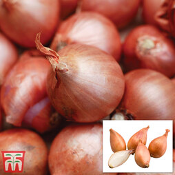 Shallot 'Gourmet Collection' (Spring Planting)