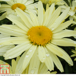 Shasta Daisy 'Banana Cream'