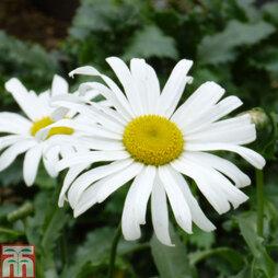 Shasta Daisy 'Starburst'