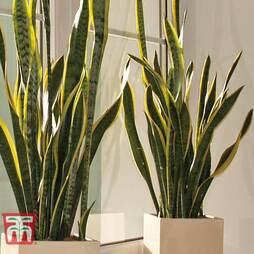 Snake Plant - Gift