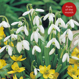 Snowdrop (Single-flowered)