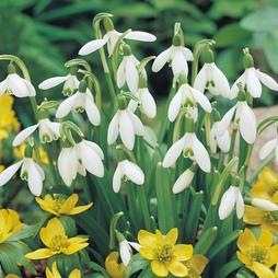 Snowdrop (Single-flowered)
