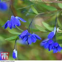 Sollya heterophylla 'Ultra Blue'