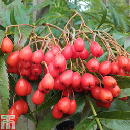 Sorbus ulleungensis 'Olympic Flame'