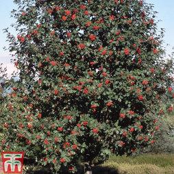 Sorbus hybrida L. 'Gibbsii'