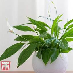 Spathiphyllum 'Torelli' (House Plant)