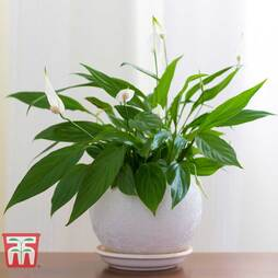 Spathiphyllum 'Chopin'® Ultimo