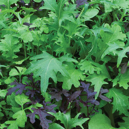 Salad Leaves 'Speedy' (Start-A-Garden™ Range)