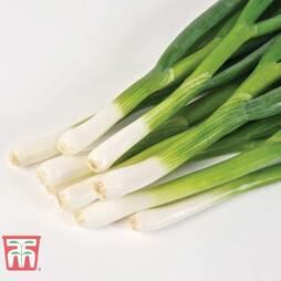 Spring Onion 'Totem'