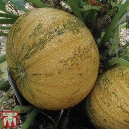 Squash 'Silver Dust' (Winter)