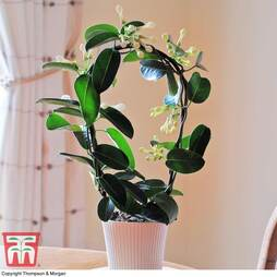 Stephanotis floribunda On A Hoop (House Plant)