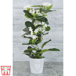Stephanotis floribunda (House Plant)