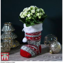 Kalanchoe Christmas Stocking (House Plant) - Gift