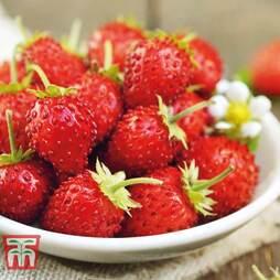 Strawberry 'Mignonette'