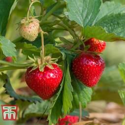 Strawberry 'Cambridge Favourite' (Mid Season)