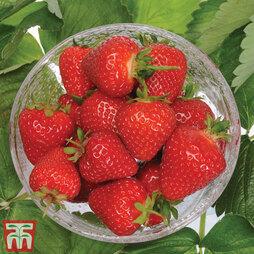 Strawberry 'Malling Centenary'