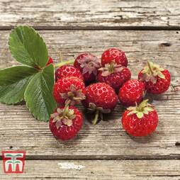 Strawberry 'Framberry'